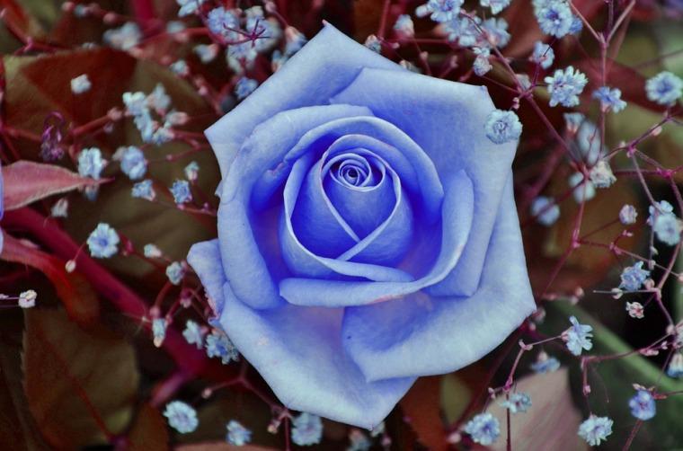 blue rose-843393_960_720